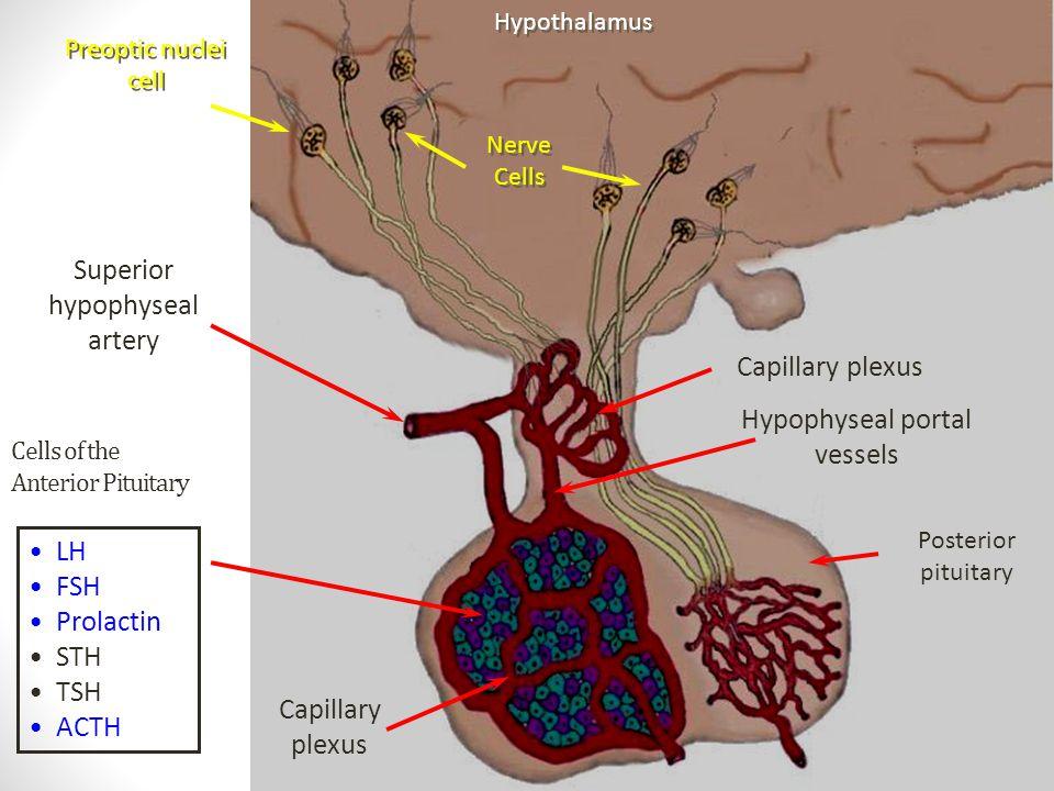 Cells of the Anterior Pituitary LH FSH Prolactin STH TSH ACTH Hypothalamus Nerve Cells Superior hypophyseal artery Hypophyseal portal vessels Capillar