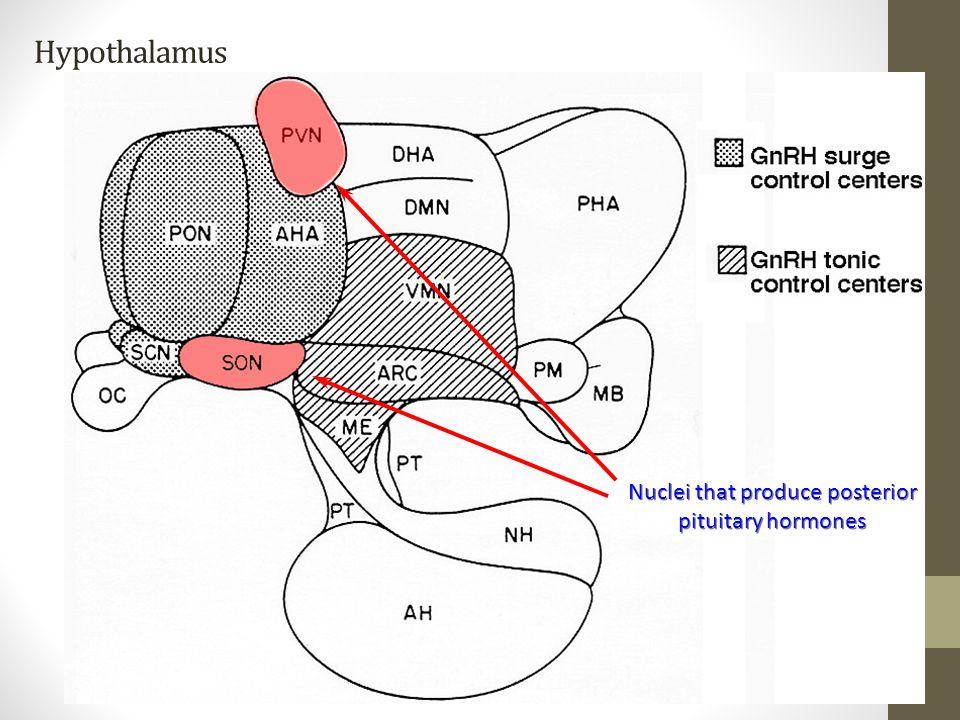 Hypothalamus Nuclei that produce posterior pituitary hormones