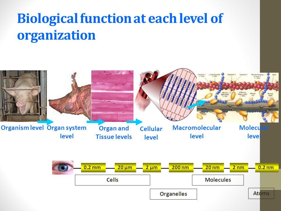 Organism levelOrgan system level Organ and Tissue levels Cellular level Macromolecular level Molecular level 0.2 mm20 µm2 µm200 nm20 nm2 nm0.2 nm Atom