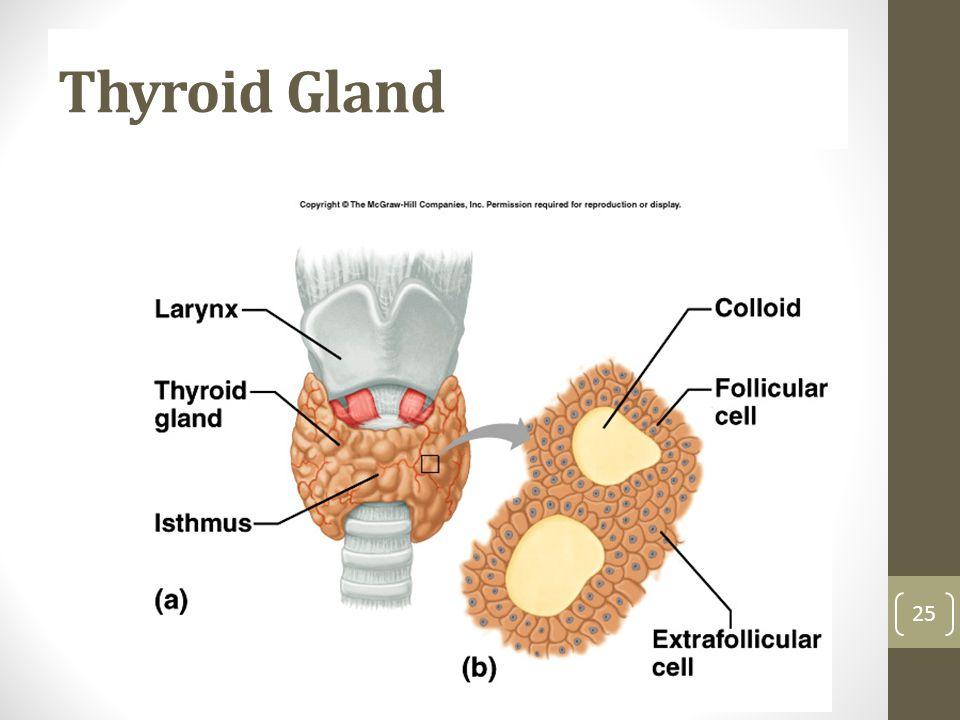 Thyroid Gland 25