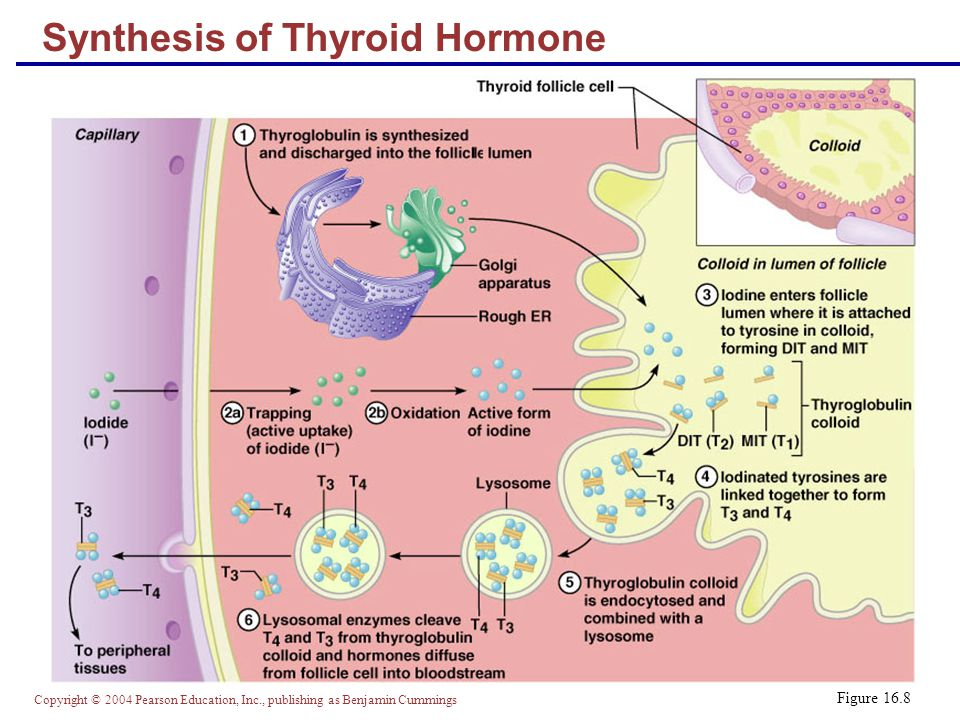 Copyright © 2004 Pearson Education, Inc., publishing as Benjamin Cummings Figure 16.8 Synthesis of Thyroid Hormone