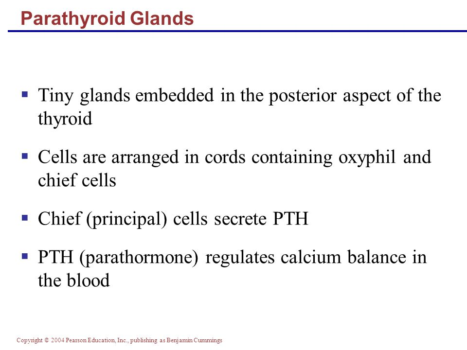 Copyright © 2004 Pearson Education, Inc., publishing as Benjamin Cummings Parathyroid Glands Tiny glands embedded in the posterior aspect of the thyro