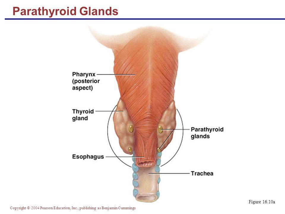Copyright © 2004 Pearson Education, Inc., publishing as Benjamin Cummings Parathyroid Glands Figure 16.10a