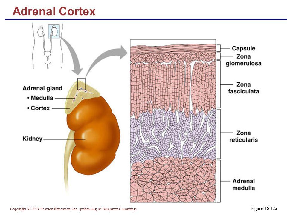 Copyright © 2004 Pearson Education, Inc., publishing as Benjamin Cummings Figure 16.12a Adrenal Cortex
