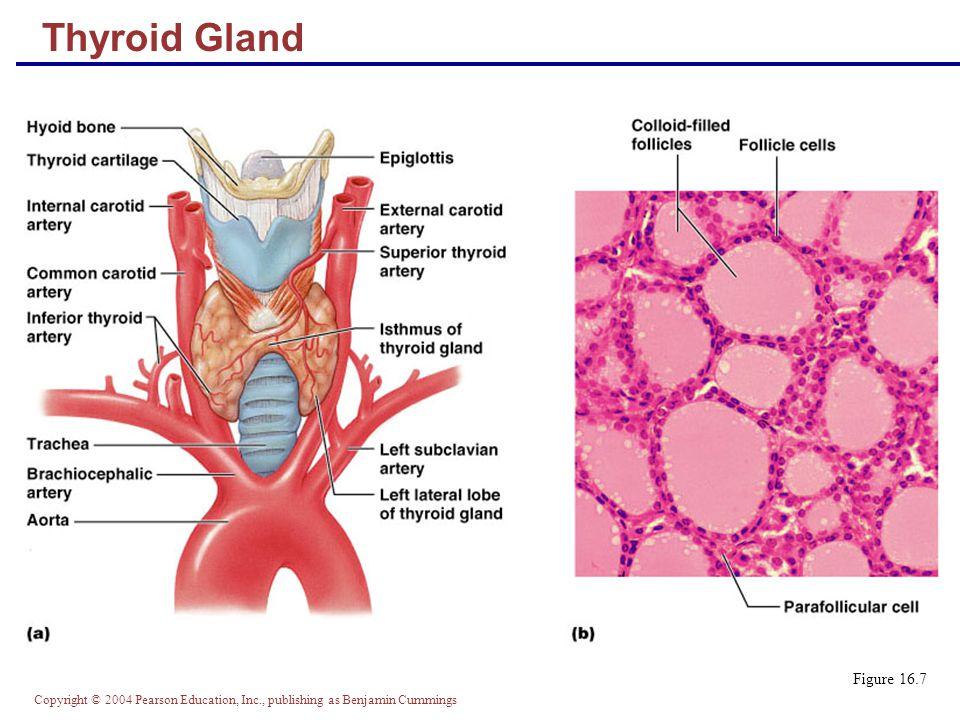 Copyright © 2004 Pearson Education, Inc., publishing as Benjamin Cummings Figure 16.7 Thyroid Gland
