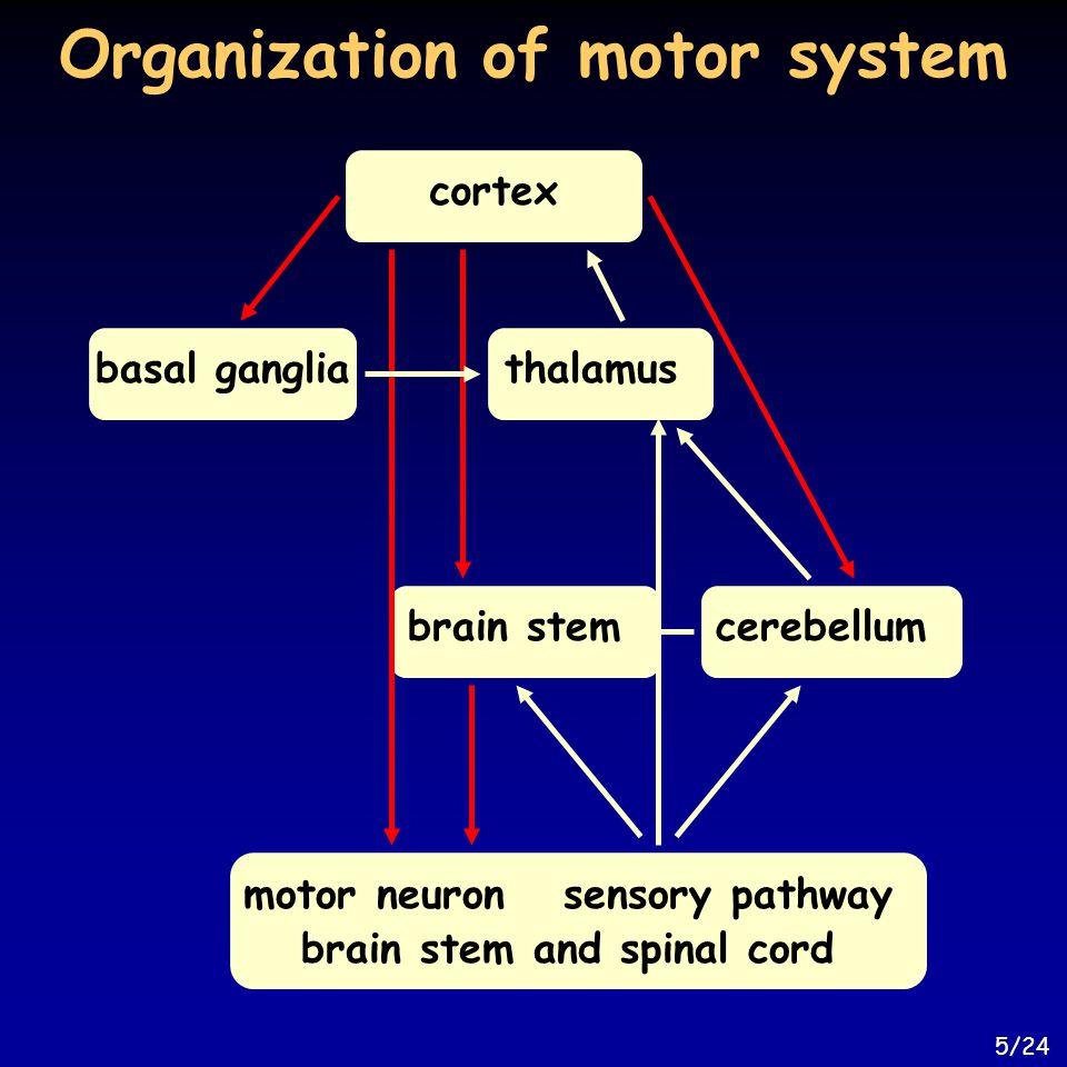Organization of motor system cortexthalamusbasal gangliacerebellumbrain stem motor neuronsensory pathway brain stem and spinal cord 5/24