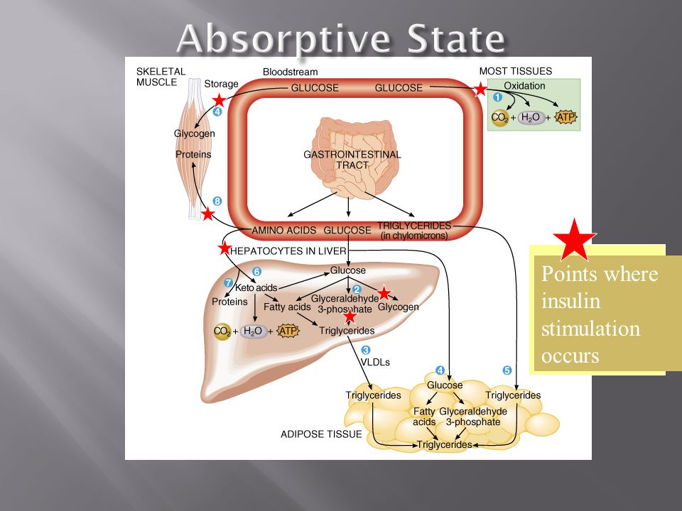 Several things typically happen during the absorptive state (Figure 25.17). Most body cells produce ATP by oxidizing glucose to carbon dioxide and wat