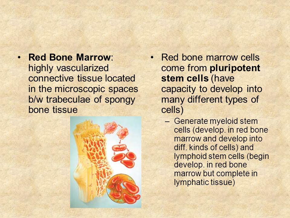 Red Bone Marrow: highly vascularized connective tissue located in the microscopic spaces b/w trabeculae of spongy bone tissue Red bone marrow cells come from pluripotent stem cells (have capacity to develop into many different types of cells) –Generate myeloid stem cells (develop.