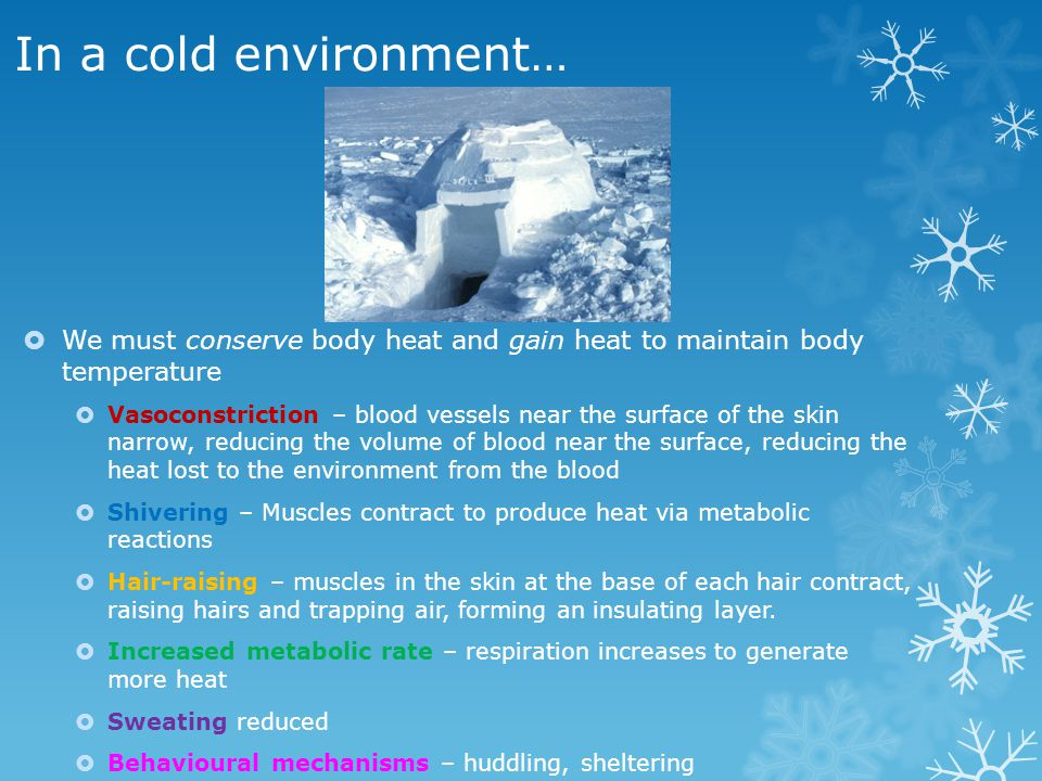 In a cold environment… We must conserve body heat and gain heat to maintain body temperature Vasoconstriction – blood vessels near the surface of the