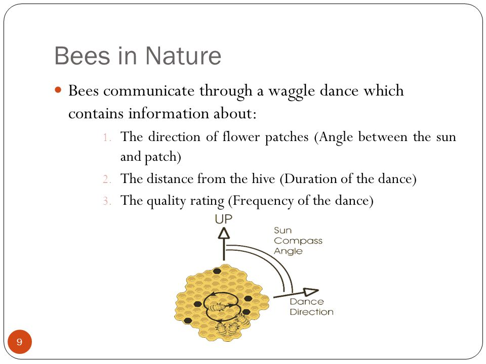 Bees in Nature 9 Bees communicate through a waggle dance which contains information about: 1. The direction of flower patches (Angle between the sun a