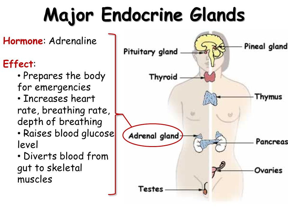 Major Endocrine Glands Hormone: Adrenaline Effect: Prepares the body for emergencies Increases heart rate, breathing rate, depth of breathing Raises b