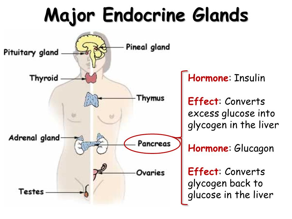 Major Endocrine Glands Hormone: Insulin Effect: Converts excess glucose into glycogen in the liver Hormone: Glucagon Effect: Converts glycogen back to glucose in the liver
