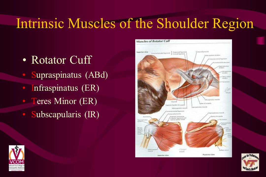 Intrinsic Muscles of the Shoulder Region Rotator Cuff Supraspinatus (ABd) Infraspinatus (ER) Teres Minor (ER) Subscapularis (IR)