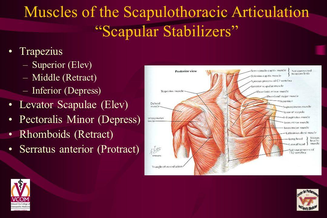 Muscles of the Scapulothoracic Articulation Scapular Stabilizers Trapezius –Superior (Elev) –Middle (Retract) –Inferior (Depress) Levator Scapulae (El