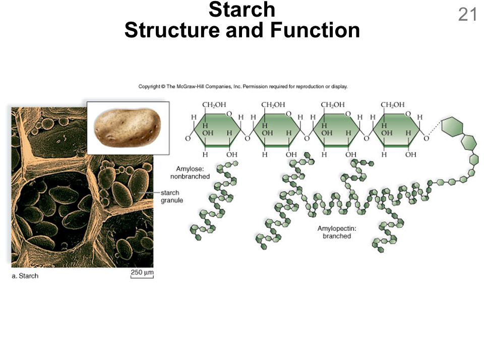 21 Starch Structure and Function