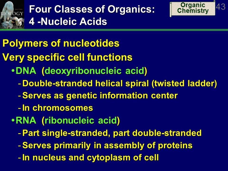Organic Chemistry 43 Four Classes of Organics: 4 -Nucleic Acids Polymers of nucleotides Very specific cell functions DNA (deoxyribonucleic acid) DNA (