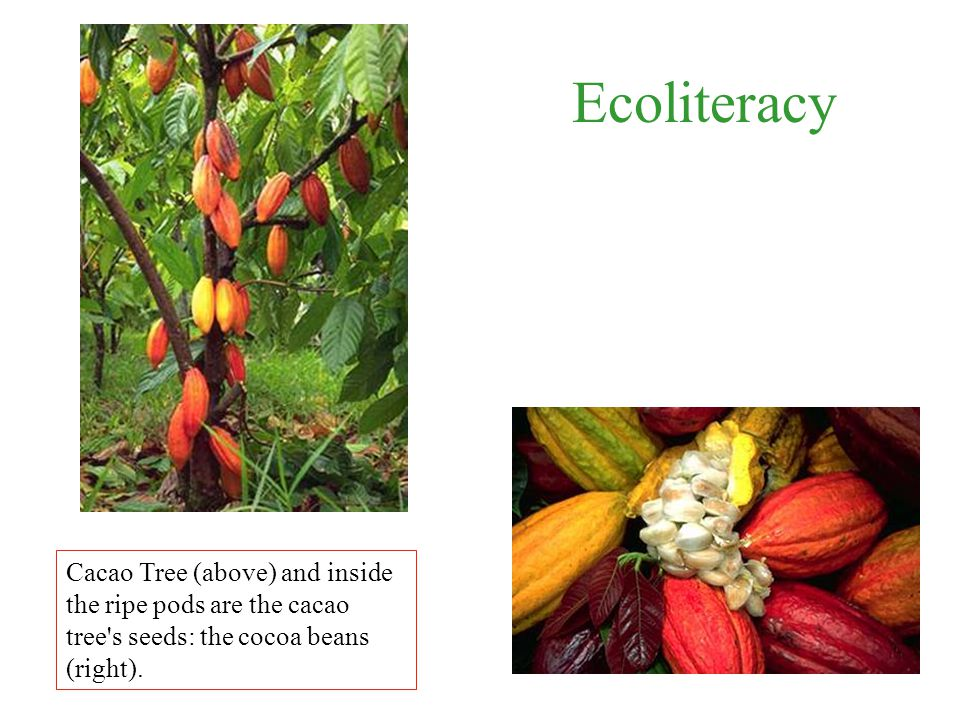 Ecoliteracy Cacao Tree (above) and inside the ripe pods are the cacao tree s seeds: the cocoa beans (right).
