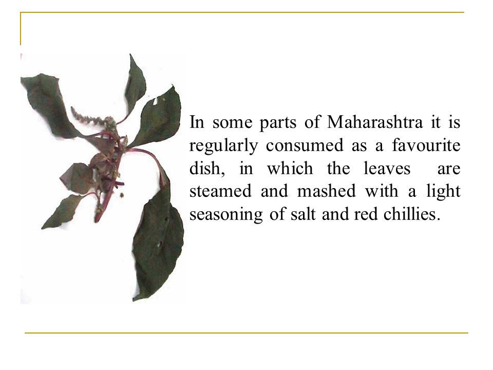 In some parts of Maharashtra it is regularly consumed as a favourite dish, in which the leaves are steamed and mashed with a light seasoning of salt and red chillies.