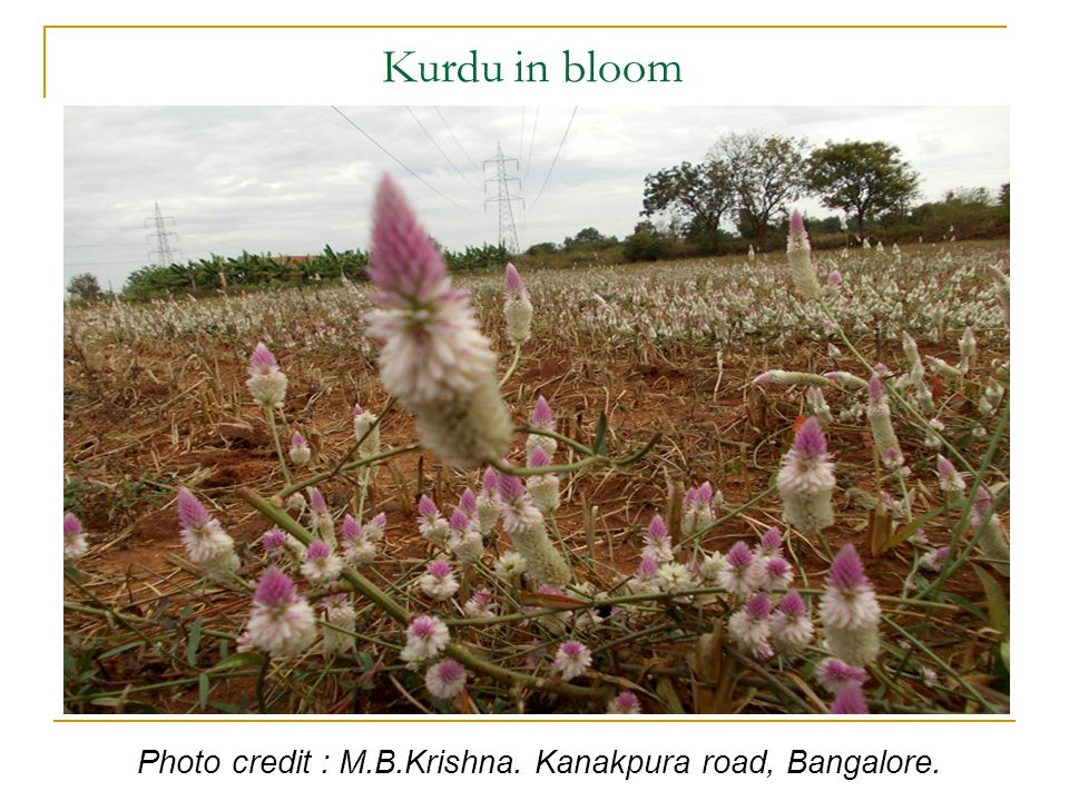 Kurdu in bloom Photo credit : M.B.Krishna. Kanakpura road, Bangalore.