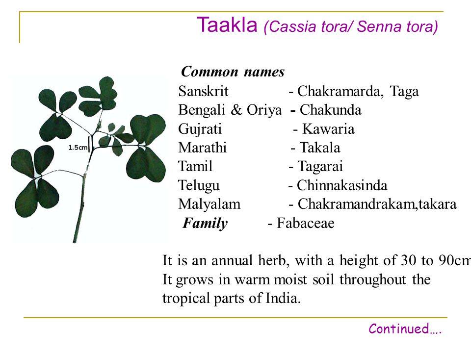 Taakla (Cassia tora/ Senna tora) Common names Sanskrit - Chakramarda, Taga Bengali & Oriya - Chakunda Gujrati - Kawaria Marathi - Takala Tamil - Tagarai Telugu - Chinnakasinda Malyalam - Chakramandrakam,takara Family - Fabaceae It is an annual herb, with a height of 30 to 90cm.