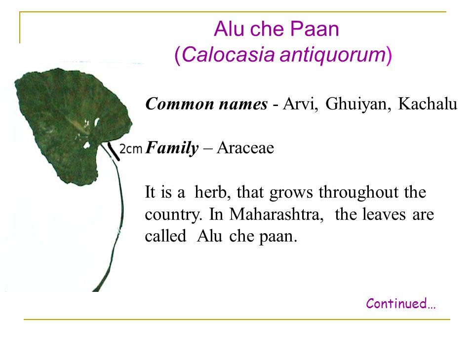 Alu che Paan (Calocasia antiquorum) Common names - Arvi, Ghuiyan, Kachalu Family – Araceae It is a herb, that grows throughout the country. In Maharas
