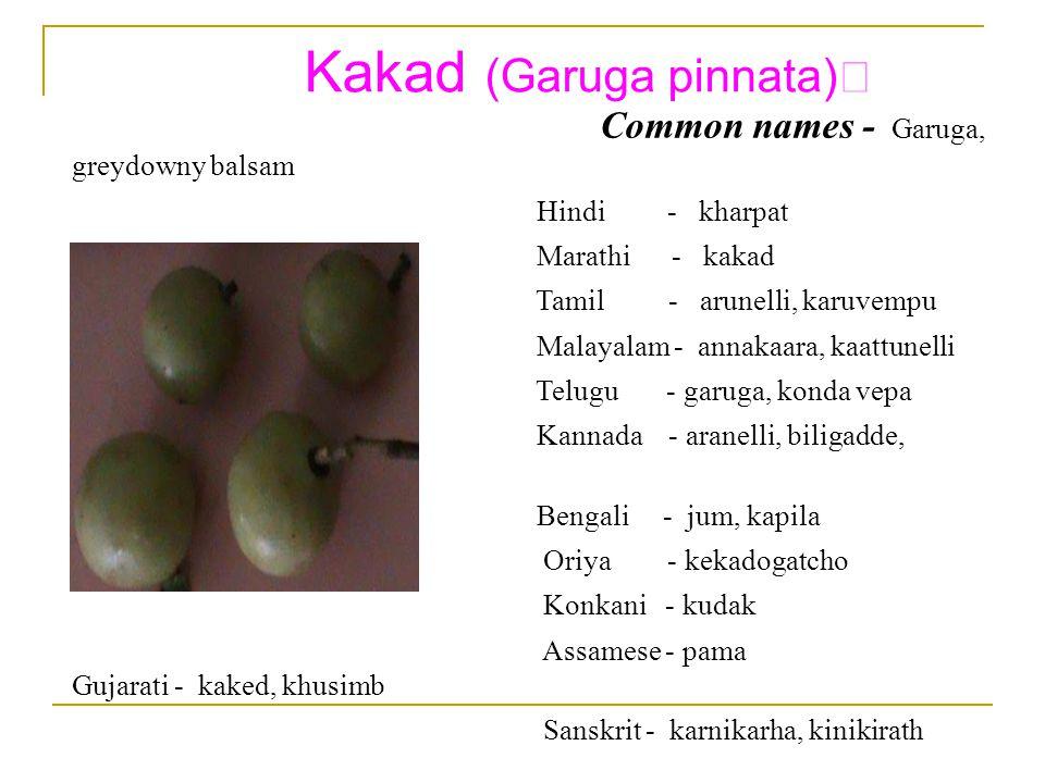 Kakad (Garuga pinnata) Common names - Garuga, greydowny balsam Hindi - kharpat Marathi - kakad Tamil - arunelli, karuvempu Malayalam - annakaara, kaattunelli Telugu - garuga, konda vepa Kannada - aranelli, biligadde, kaashthanelli Bengali - jum, kapila Oriya - kekadogatcho Konkani - kudak Assamese - pama Gujarati - kaked, khusimb Sanskrit - karnikarha, kinikirath
