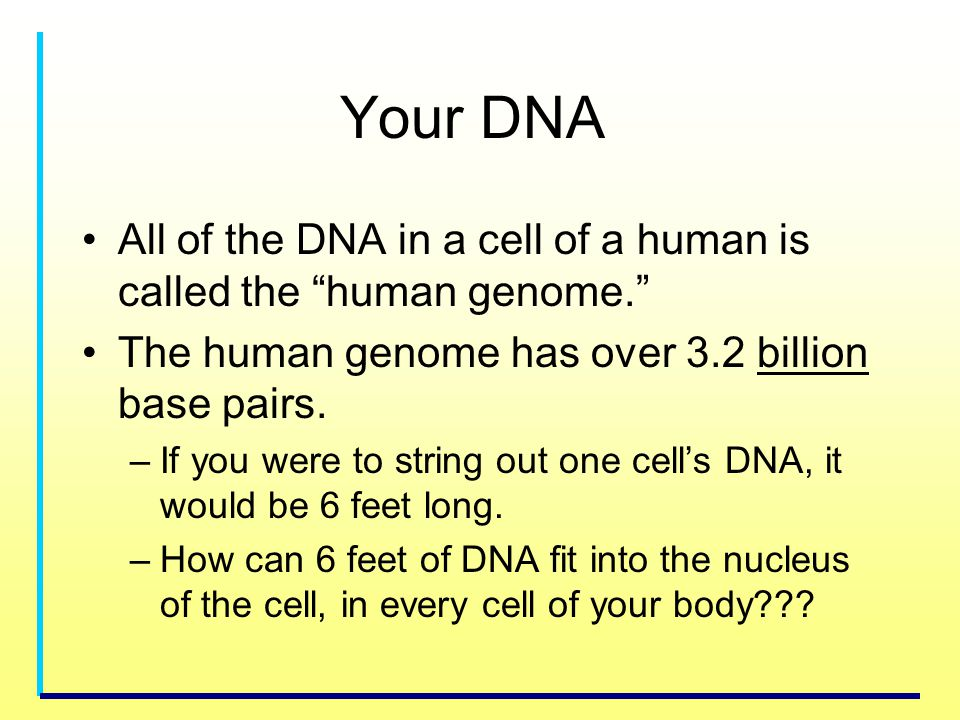 Your DNA All of the DNA in a cell of a human is called the human genome. The human genome has over 3.2 billion base pairs. –If you were to string out