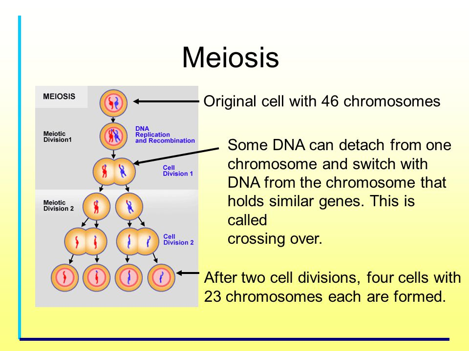 Meiosis Original cell with 46 chromosomes Some DNA can detach from one chromosome and switch with DNA from the chromosome that holds similar genes. Th