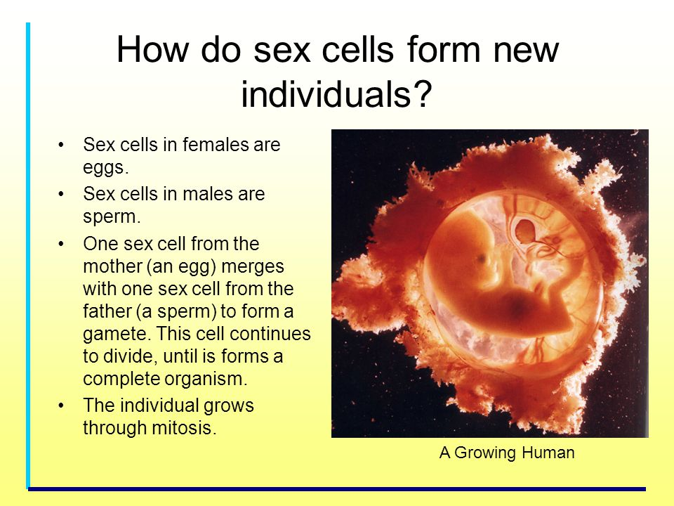 How do sex cells form new individuals? Sex cells in females are eggs. Sex cells in males are sperm. One sex cell from the mother (an egg) merges with
