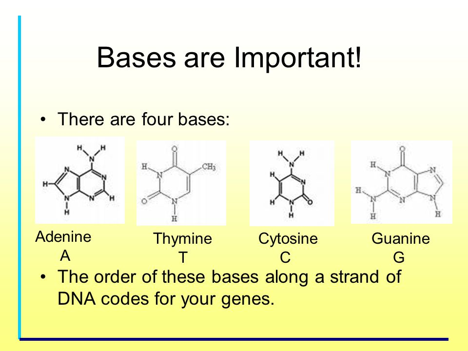 Bases are Important! There are four bases: The order of these bases along a strand of DNA codes for your genes. Adenine A Thymine T Cytosine C Guanine