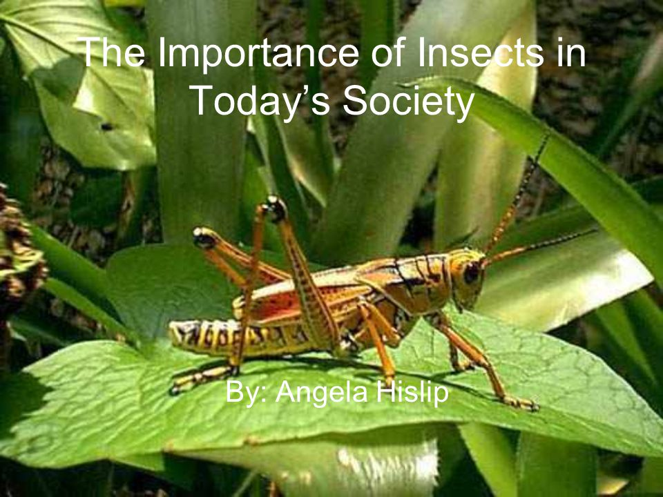 The Importance of Insects in Todays Society By: Angela Hislip