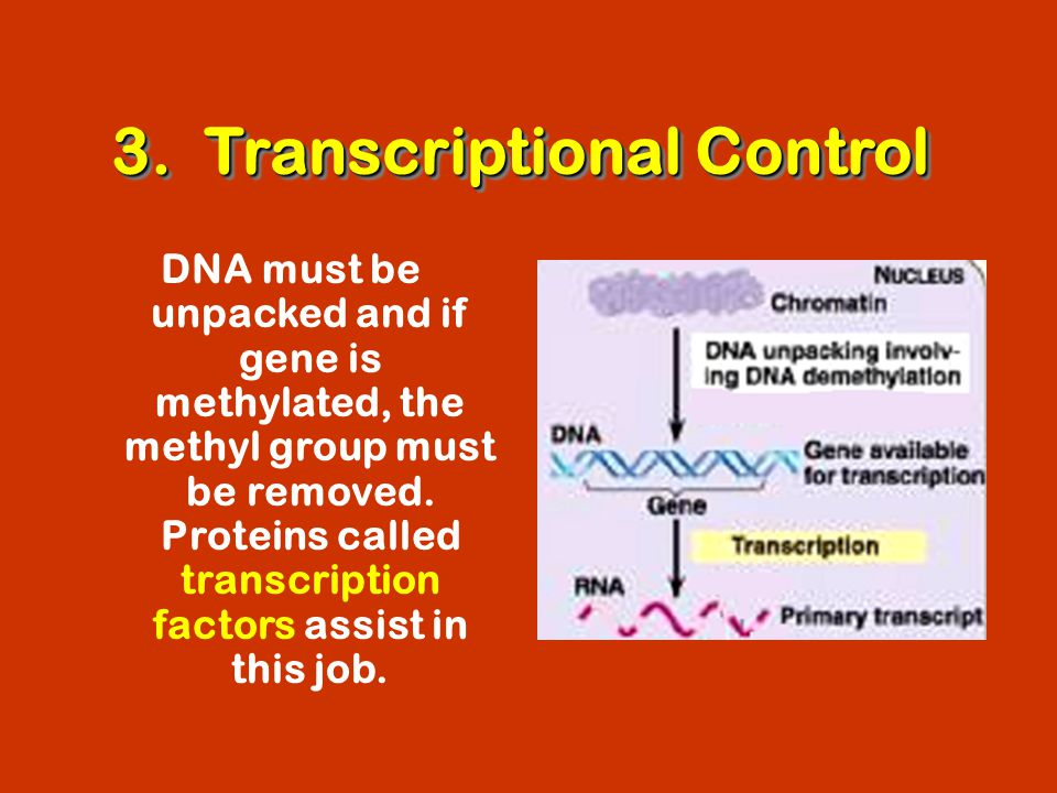 3. Transcriptional Control DNA must be unpacked and if gene is methylated, the methyl group must be removed. Proteins called transcription factors ass