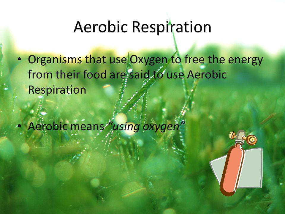 Aerobic Respiration Organisms that use Oxygen to free the energy from their food are said to use Aerobic Respiration Aerobic means using oxygen