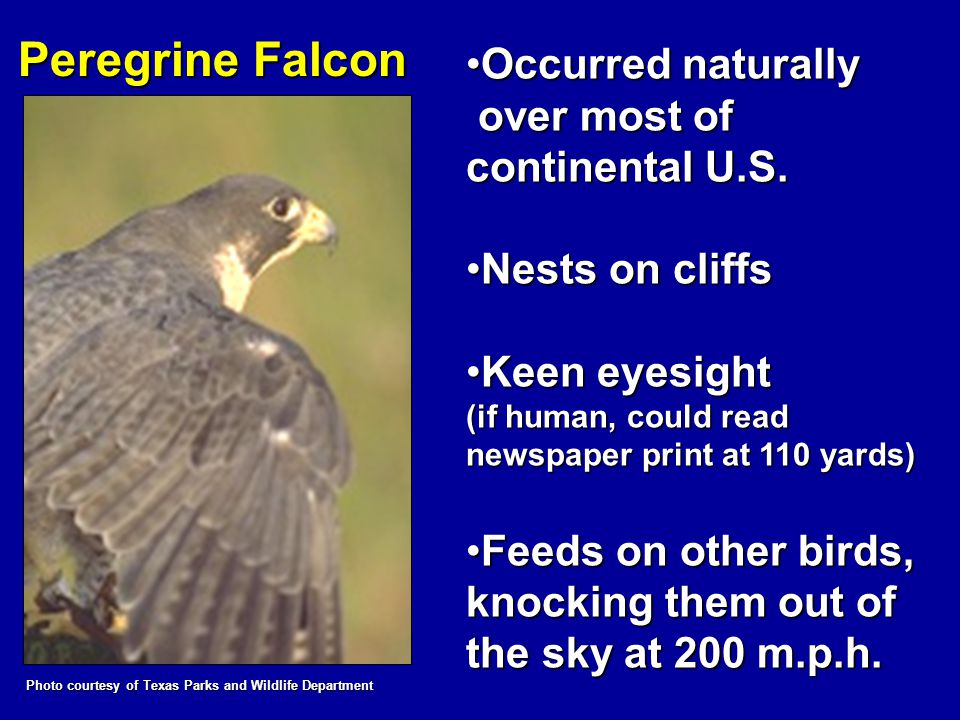 Peregrine Falcon Occurred naturallyOccurred naturally over most of continental U.S. over most of continental U.S. Nests on cliffsNests on cliffs Keen