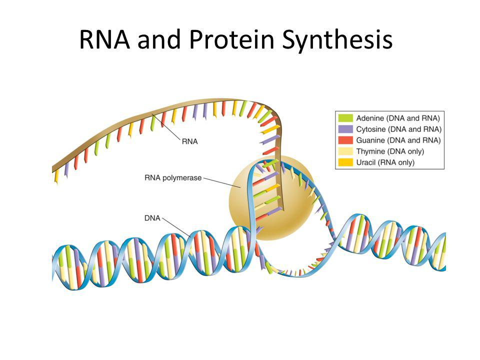 Critical Thinking Based on their descriptions, hypothesize why you think each type of RNA is required for proteins synthesis to occur.