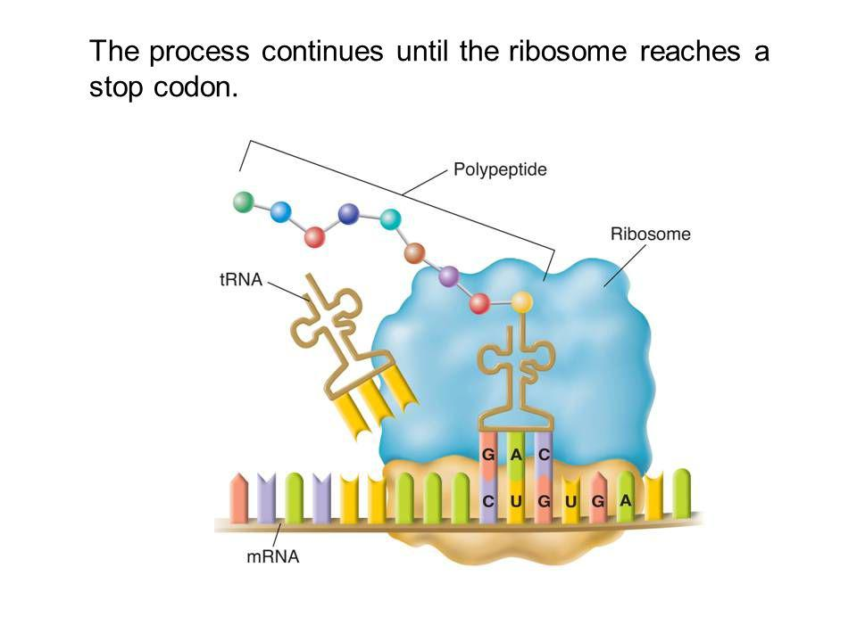The process continues until the ribosome reaches a stop codon.