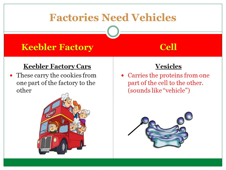 Keebler Factory Cars These carry the cookies from one part of the factory to the other. Vesicles Carries the proteins from one part of the cell to the