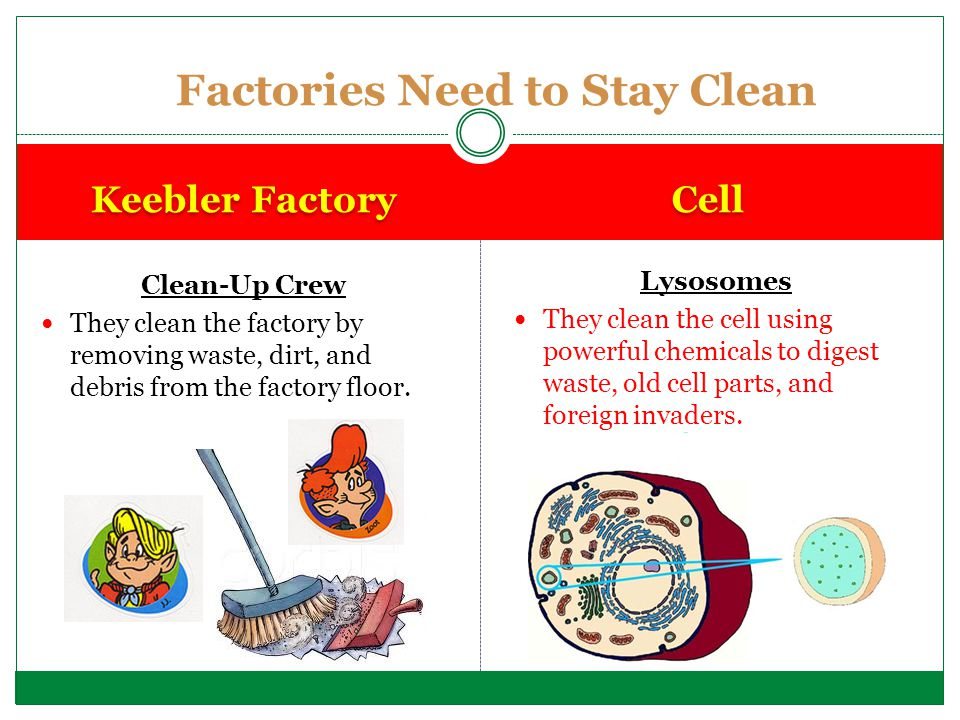 Clean-Up Crew They clean the factory by removing waste, dirt, and debris from the factory floor. Lysosomes They clean the cell using powerful chemical