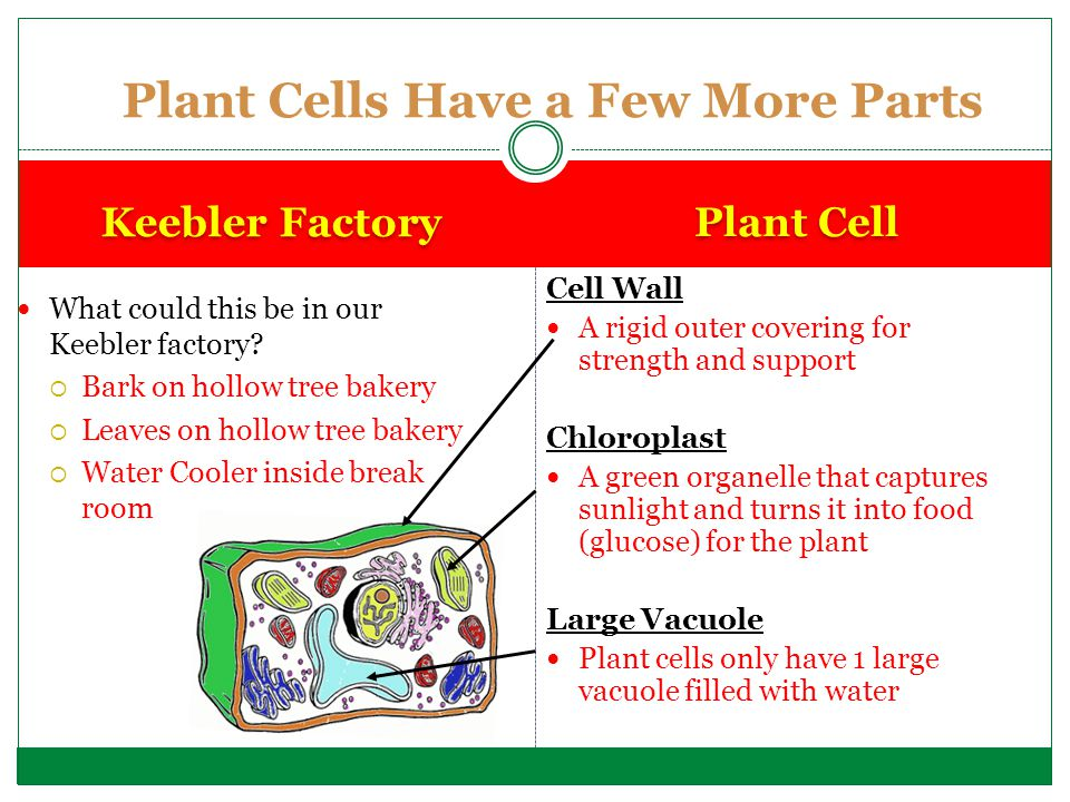 Cell Wall A rigid outer covering for strength and support Chloroplast A green organelle that captures sunlight and turns it into food (glucose) for th