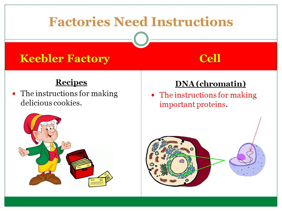 Keebler Factory Cell Recipes The instructions for making delicious cookies. DNA (chromatin) The instructions for making important proteins. Factories