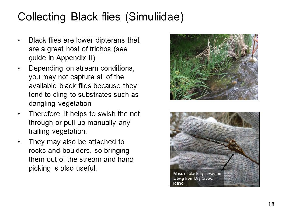 Black flies are lower dipterans that are a great host of trichos (see guide in Appendix II). Depending on stream conditions, you may not capture all o