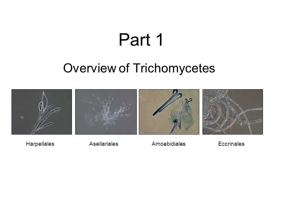 Part 1 Overview of Trichomycetes HarpellalesEccrinalesAmoebidialesAsellariales