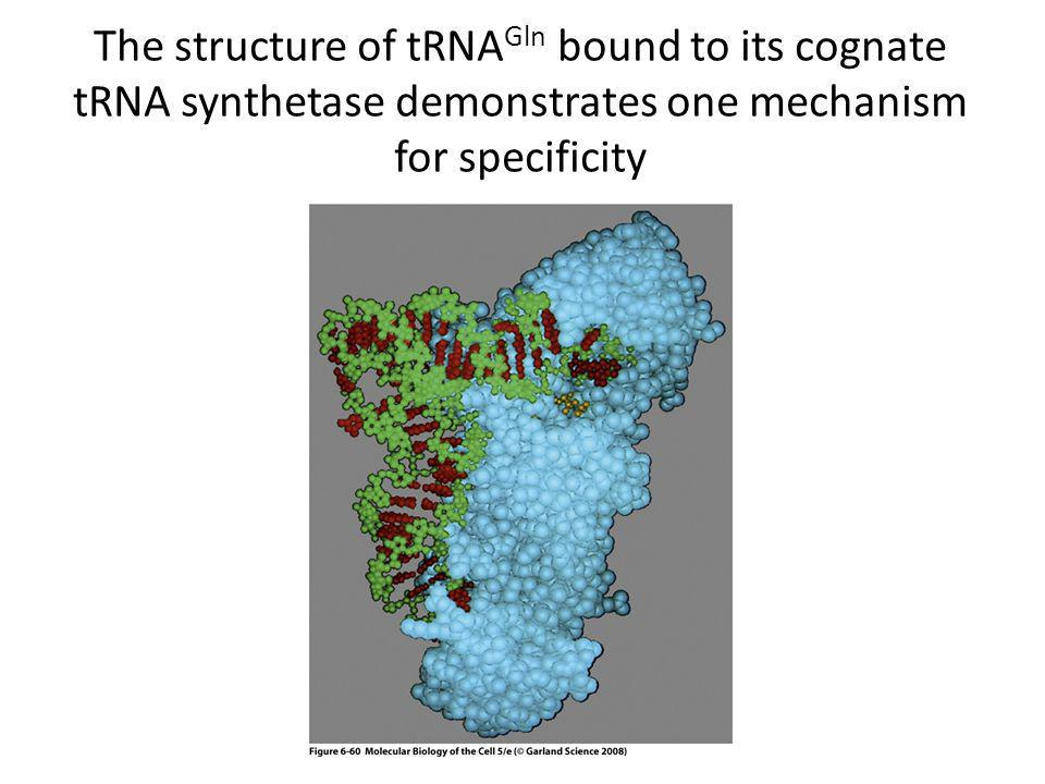 The structure of tRNA Gln bound to its cognate tRNA synthetase demonstrates one mechanism for specificity
