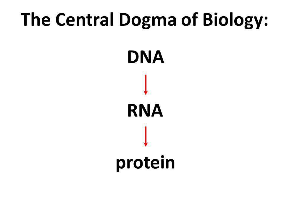 The Central Dogma of Biology: DNA RNA protein Other macromolecules