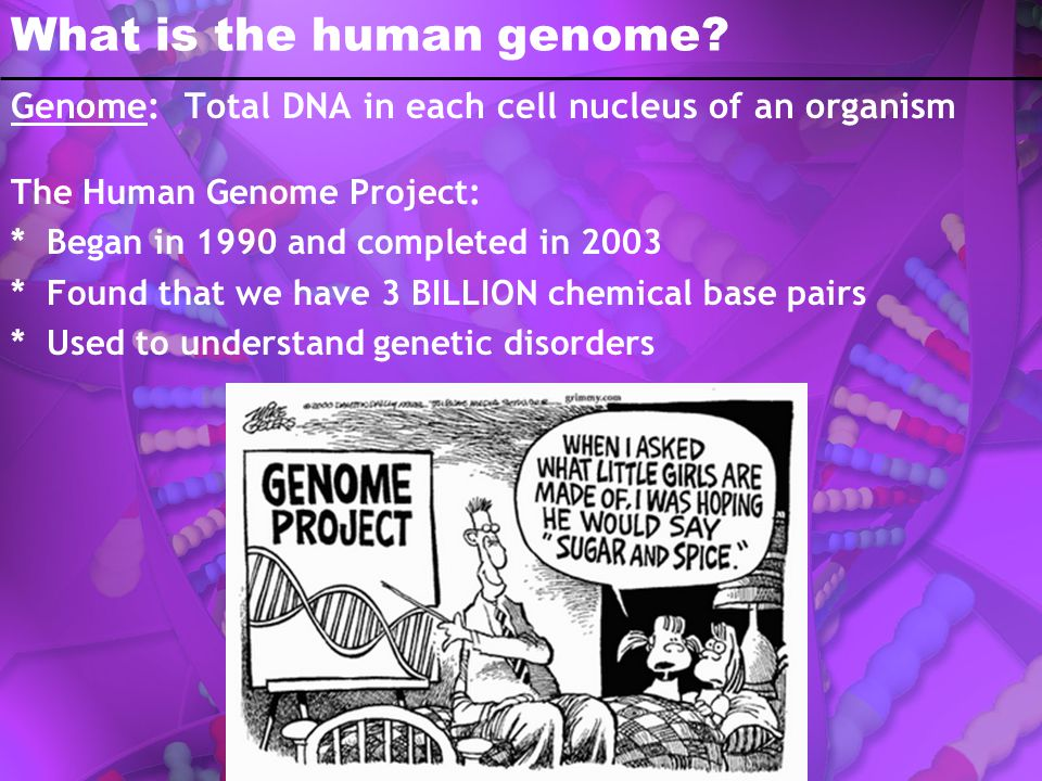 What is the human genome? Genome: Total DNA in each cell nucleus of an organism The Human Genome Project: * Began in 1990 and completed in 2003 * Foun