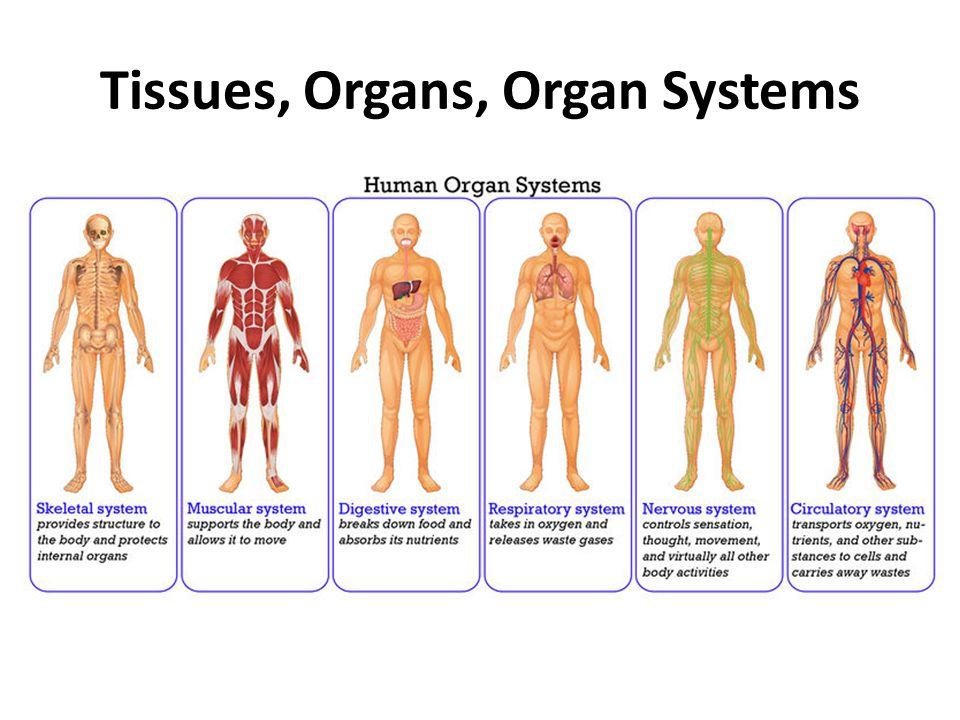 Tissues, Organs, Organ Systems