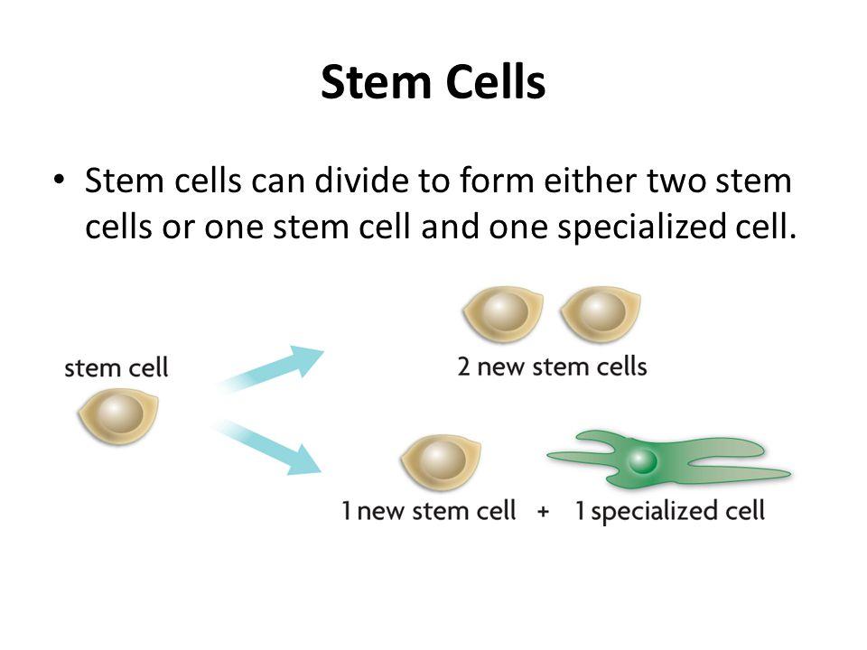 Stem Cells Stem cells can divide to form either two stem cells or one stem cell and one specialized cell.