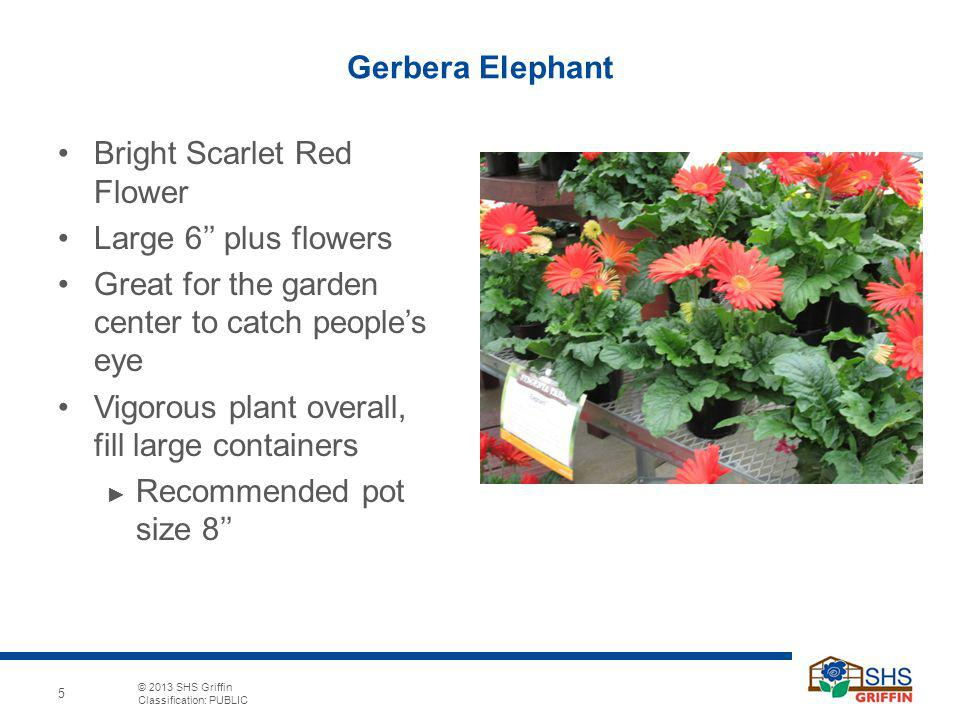 © 2013 SHS Griffin Classification: PUBLIC 5 Gerbera Elephant Bright Scarlet Red Flower Large 6 plus flowers Great for the garden center to catch peoples eye Vigorous plant overall, fill large containers Recommended pot size 8