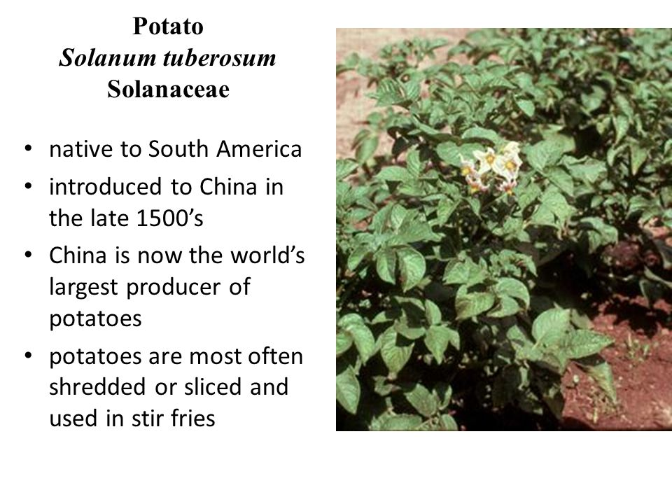 Potato Solanum tuberosum Solanaceae native to South America introduced to China in the late 1500s China is now the worlds largest producer of potatoes