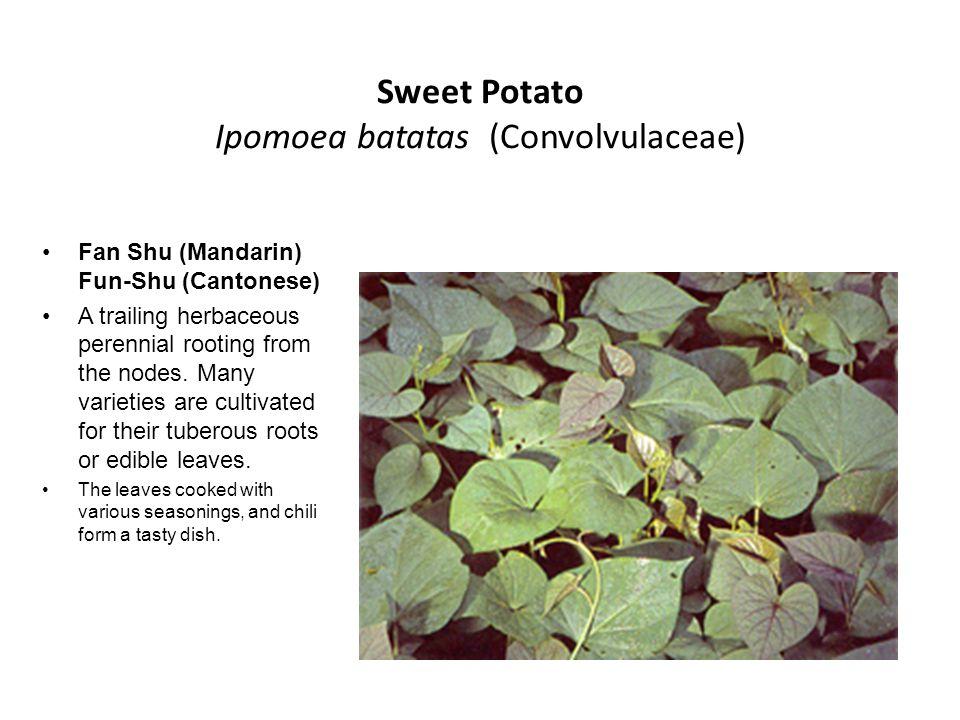 Sweet Potato Ipomoea batatas (Convolvulaceae) Fan Shu (Mandarin) Fun-Shu (Cantonese) A trailing herbaceous perennial rooting from the nodes. Many vari